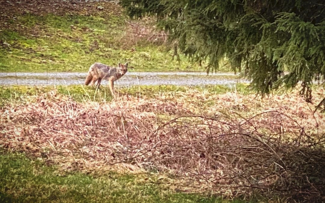 Wile E., Wiley, or Just Scary? - The coyotes that frequently visit us never look like something out of Looney Tunes.
