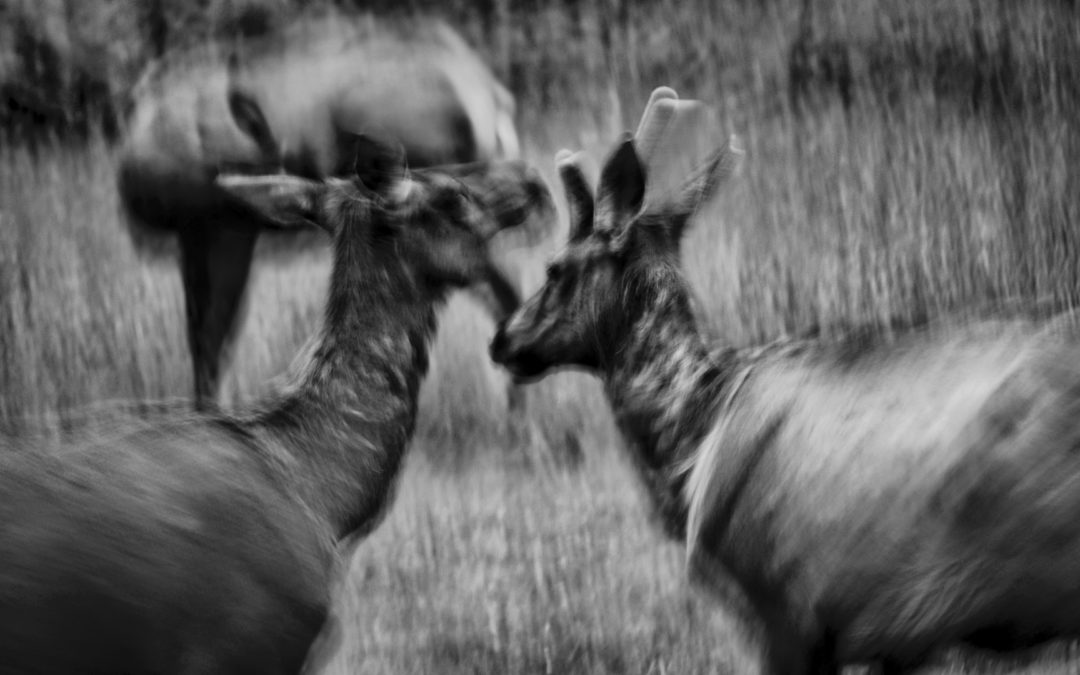 Frisky, Photogenic Elk - Some early morning visitors romped while I played around with capturing their images. Never ending entertainment.