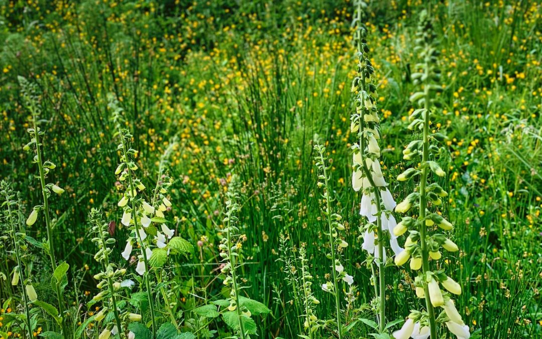 Wildflower Explosion - The foliage along our road constantly changes. We see it up close on our daily walks. Earlier it was skunk cabbage. Now foxglove predominates.