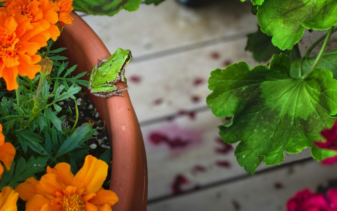Green Garden Friend - This little creature can be found lurking among the potted plants on our deck. Not at all bashful.