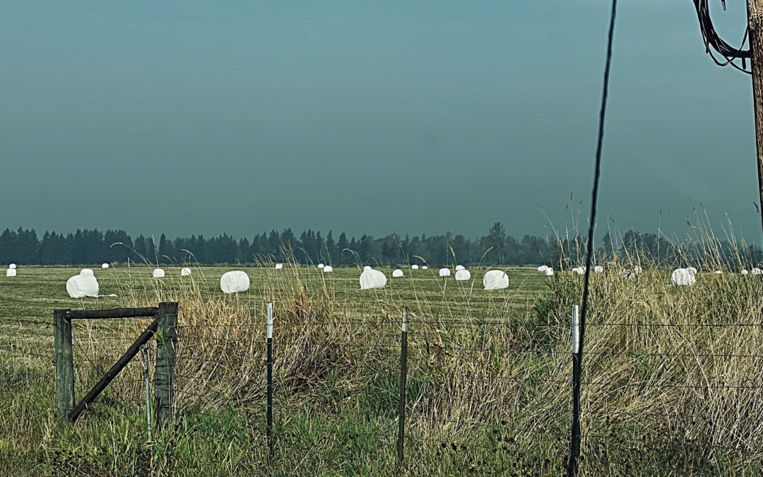 Giant Marshmallows - The annual harvest is well under way. Spotted them from Snohomish down to Buckley. Looks like a good crop this year. Great for s'mores.