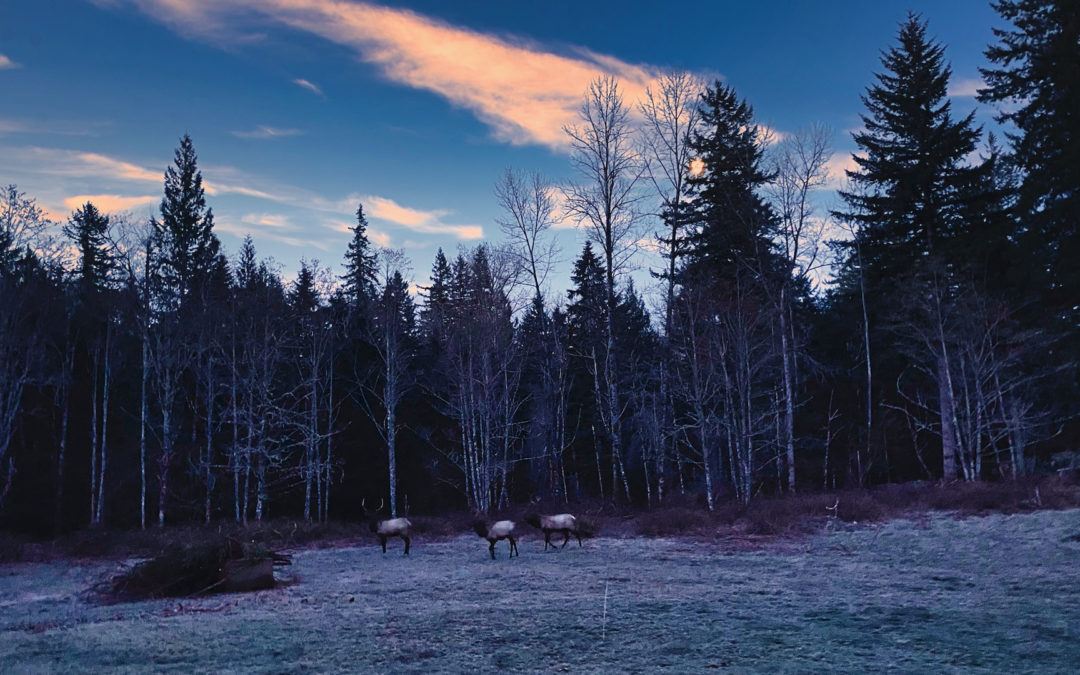 Frosty Morning Visit - These three strolled through just as the sun was coming up in the east while the moon was setting in the west. Nice start to another beautiful day.