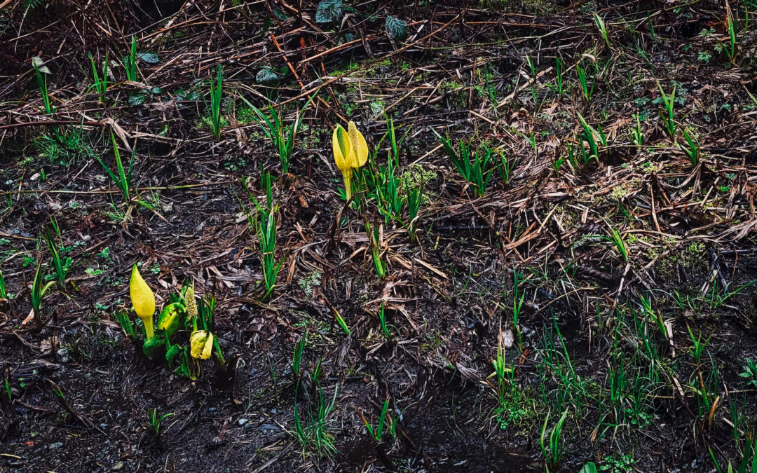 Skunk Cabbage Arrive - Like the swallows to Capistrano, the skunk cabbage have poked their heads up to herald the arrival of spring in Hobart.