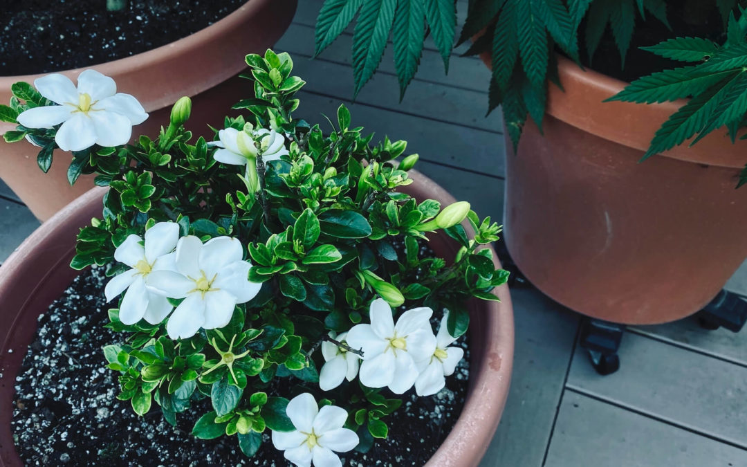 Sun Lovers - While we humans are freaking out over this unprecedented heatwave here in the U.S. Pacific Northwest, our cold-tolerant gardenias are loving it.